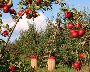 apple harvest 8x10