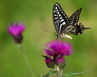 swallow tail on thistle 8x10